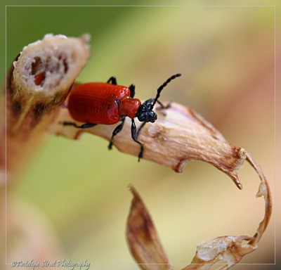 02-red-lily-beetle1