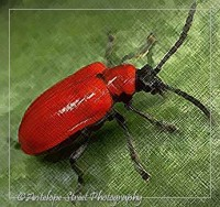 02-red-lily-beetle2