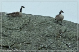 Canada geese snow