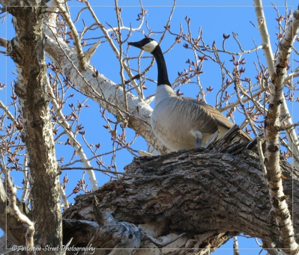 12-canada-goose-in-tree-1