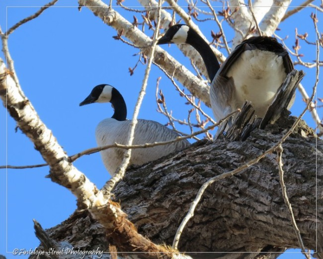12-canada-goose-in-tree-2