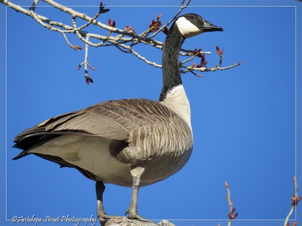 12-canada-goose-in-tree-3