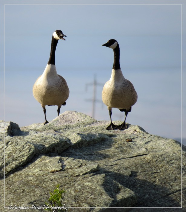 16-canada-geese