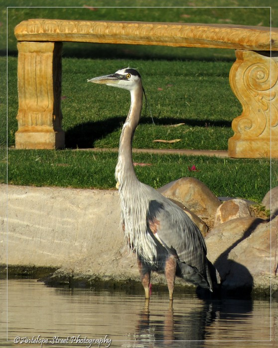 19-great-blue-heron1