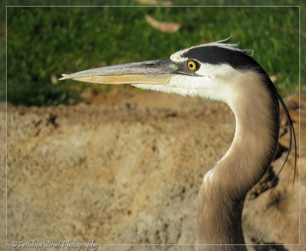 19-great-blue-heron2