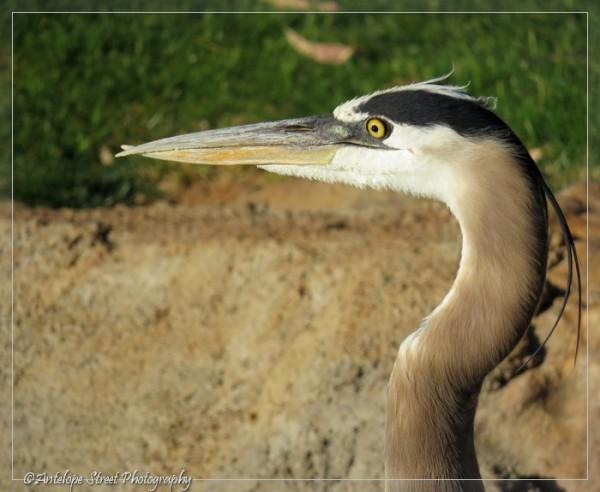 19-great-blue-heron2