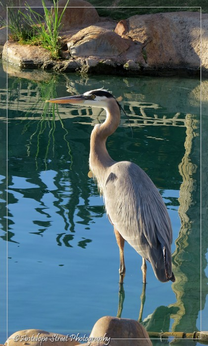 19-great-blue-heron3