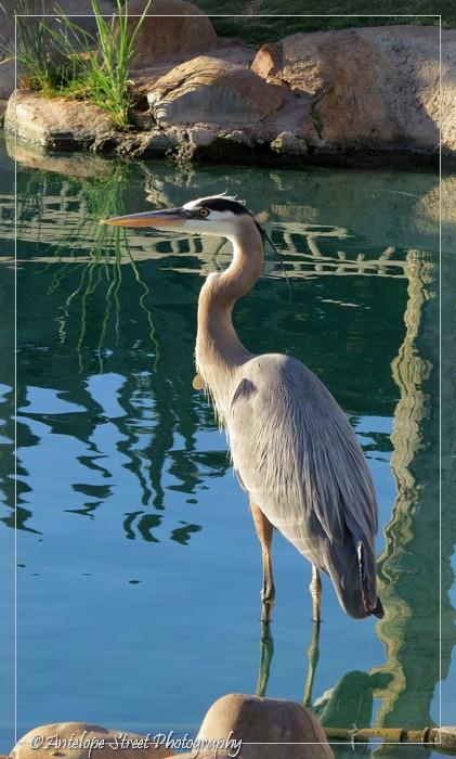19-great-blue-heron3