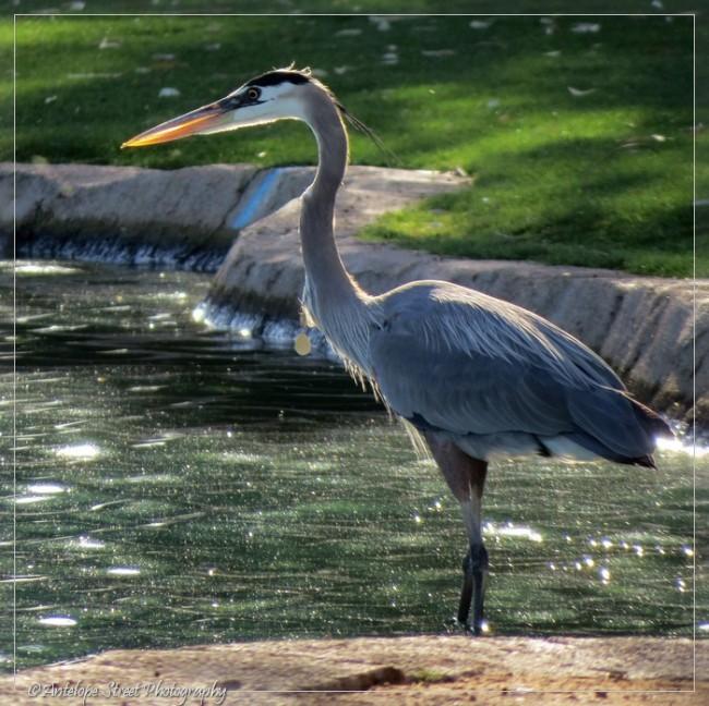 19-great-blue-heron4