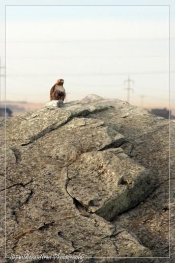 2-hawk-on-rock