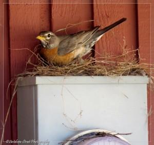 female robin