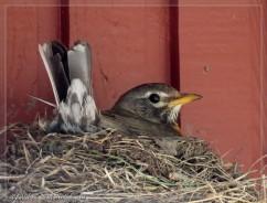 female robin on next