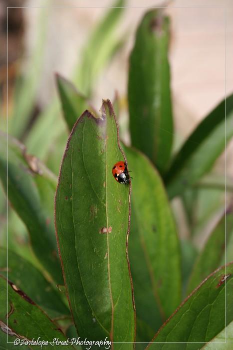 21-ladybug1