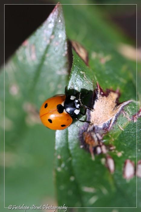 21-ladybug2