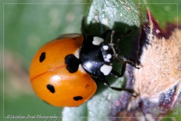 21-ladybug4