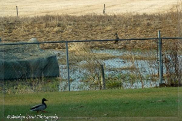 3-mallard-fence