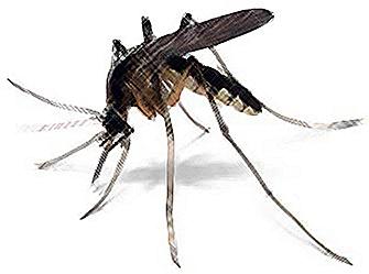 3-mosquito1