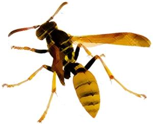 3-wasp