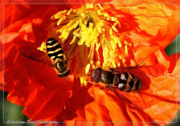 32-hoverflies