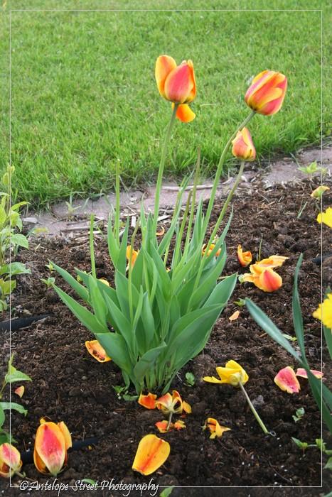 4-tulipdamage