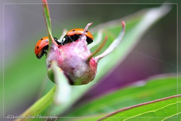 42-ladybugs