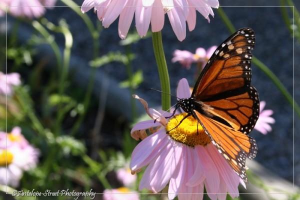 43-monarch-butterfly3