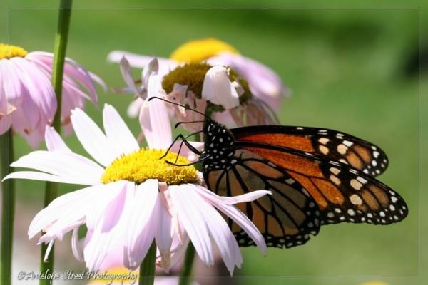 43-monarch-butterfly4
