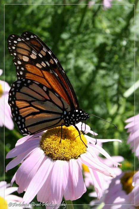 45-monarch-butterfly