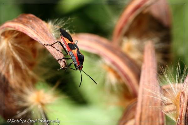 49-large-milkweed-bug