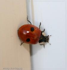 2 Spot Ladybug