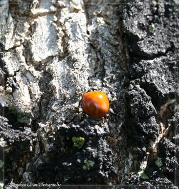 No spot Ladybug