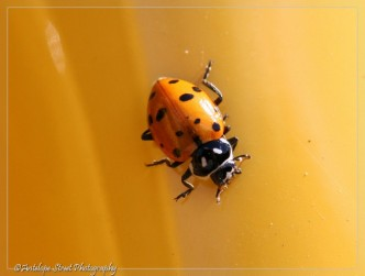 13 Spot Ladybug