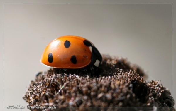 52-ladybug-7-spot1