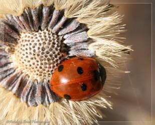 7 Spot Ladybug
