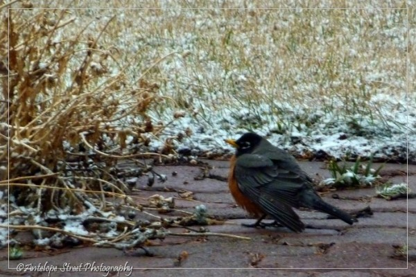 9-robin-in-snow