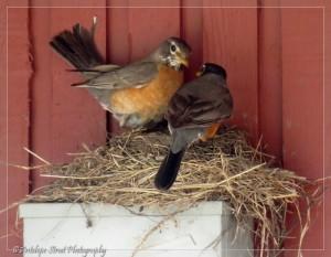 male and femal robin