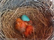 blue robin egg hatched