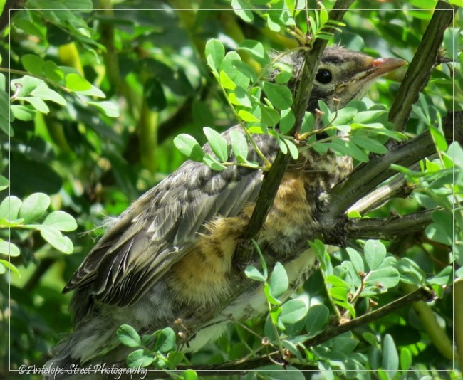 fledged robin