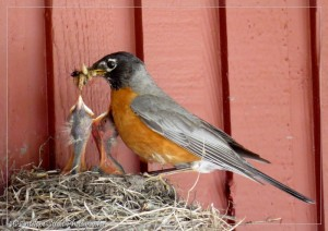 male robin feeds chicks