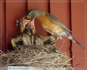 female robin feeds chicks