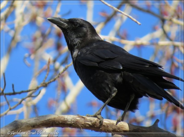 4-crow