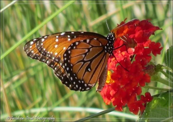 67-monarch2