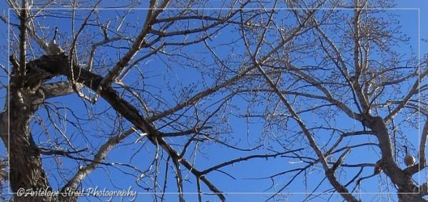 12-geese-in-poplars-2