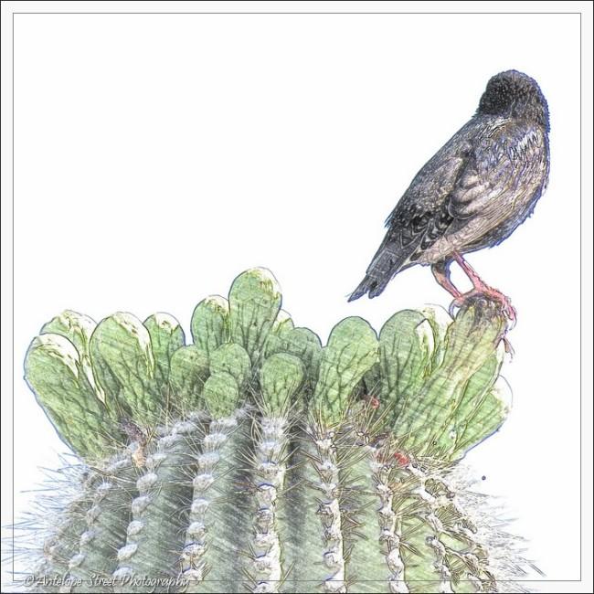 saguaro cactus bird