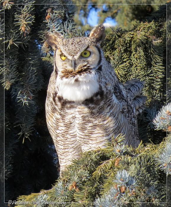 14-great-horned-owl
