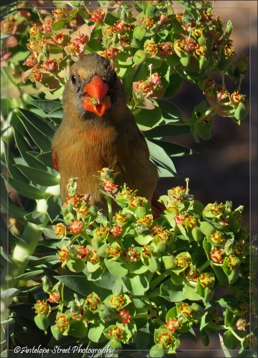 21-cardinal-female4