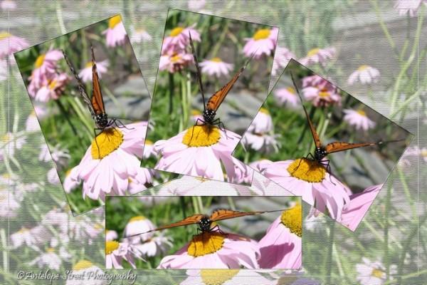 32-monarch-butterfly1