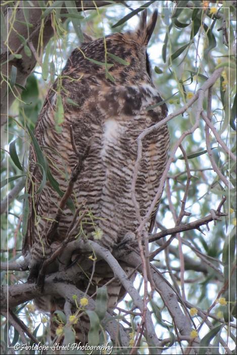 89-great-horned-owl-1