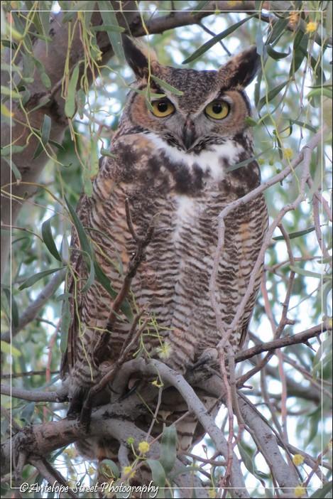 89-great-horned-owl-2