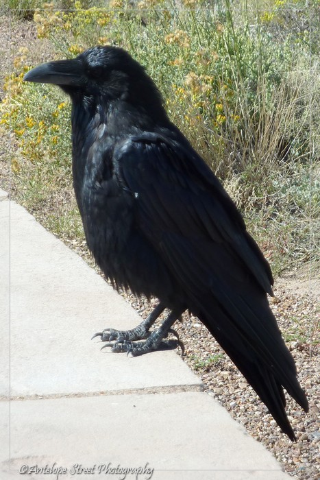 Corvus corax black brd